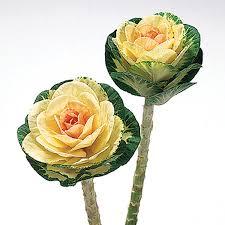 ornamental flowering cabbage kale seeds ne seed