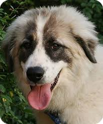 belgian shepherd oklahoma henry adopted adopted puppy tulsa ok great pyrenees