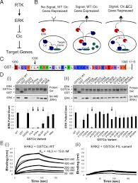 cic si e social mapping the binding interface of erk and transcriptional repressor