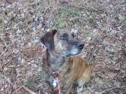 afghan hound vs wolfhound plott hound dog breed standards