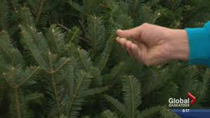 fake vs real christmas trees the perennial debate globalnews ca
