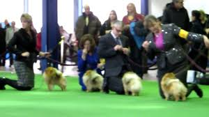 what is the dog show on thanksgiving best of pomeranians at the westminster kennel club dog show youtube