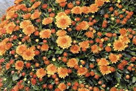 nursery atlanta homewood nursery planting garden mums getting the most bloom for your buck