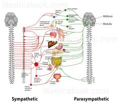 parasympathetic innervation of lungs articles physiological