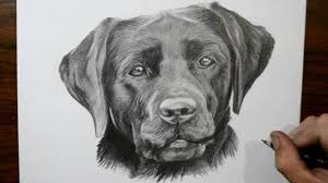 how to draw a dog labrador youtube