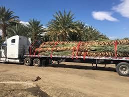 dactylifera certified medjool zahidi deglet noor date palm