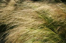 stipa tenuissima mexican feather grass rhs gardening