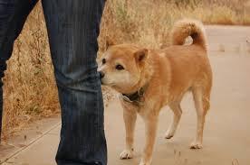 Doge Meme Tumblr - shiba inu following ivygreane by geniusof2121 on deviantart