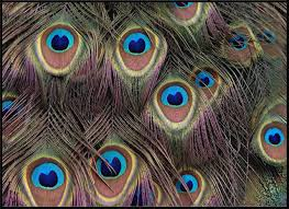 Peacock Area Rug National Geographic Photographic Peacock Feathers Multi Animal