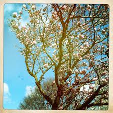cherry blossom trees thereisnocavalry