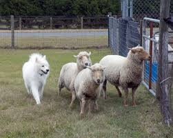 australian shepherd herding sheep herding samoyed club of america