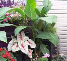 Canna Lilies Growing Canna Lilies Is Simple And Rewarding Canna Lilies Make
