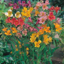 Alstroemeria Alstroemeria Ligtu Hybrids Flower Seeds D T Brown Flower Seeds