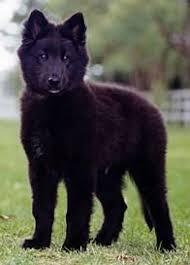 belgian sheepdog types groenendael belgian shepherd dog dog breeds pinterest