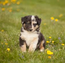 australian shepherd quebec smart playful australian shepherd puppies craigspets