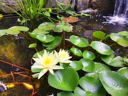 Is A Backyard Pond An Ecosystem Ponds 101 Learn About The Basics Of Owning A Pond