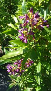 tree with purple flowers evergreen wisteria purple flower plants 5 gal tree plant flowers