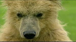 Animal Planet Documentary Grizzly Bears Full Documentaries - the land of giant bears full documentary planet doc full