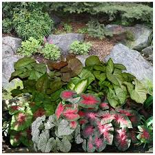 shop 9 pack mixed fancy leaf caladiums bulbs at lowes com