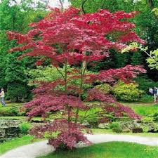 ornamental trees and shrubs with reddish purple foliage