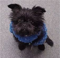affenpinscher terrier mix affenpinscher dog breed pictures 2