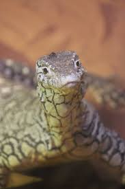 53 best australian reptiles images on pinterest animals lizards