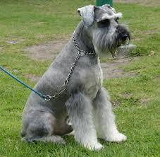 is a australian shepherd hypoallergenic hypoallergenic dog breeds hypoallergenic dogs information