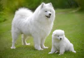 american eskimo dog for sale in florida samoyed puppies for sale akc puppyfinder