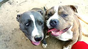 american pit bull terrier life expectancy american pit bull terrier dog breed information pictures