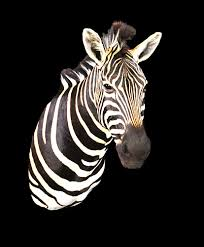 authentic zebra hides from south africa