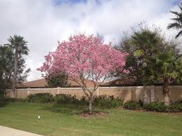 tree with pink flowers pink trumpet tree tabebuia heptaphylla flower tree florida gardening