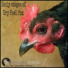 fowl pox prevention u0026 treatment ash color chicken and