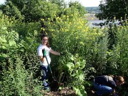 native indian plants tend native plants at indian mounds park friends of the