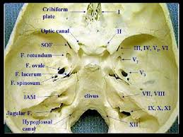 Exercise 17 Gross Anatomy Of The Brain And Cranial Nerves Cranial Nerves And Foramen Google Search Medicine