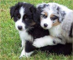 1 year old toy australian shepherd honey toy aussie 1 year old dogs of our lives pinterest
