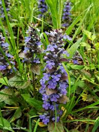 plants native to maryland maryland biodiversity project common bugle ajuga reptans