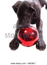 black great dane puppy chewing on a decoration stock