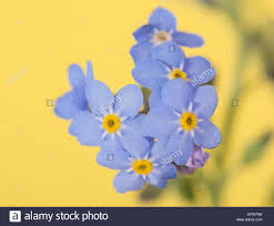 tiny forget me not flower on yellow background stock photo 83269673