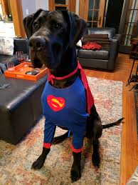 great dog halloween costumes norman the great dane is ready to save the day imgur