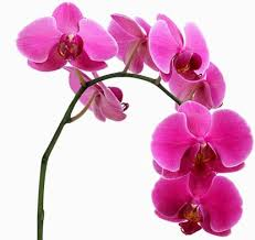 pink orchids orchid meaning and interpretations stop