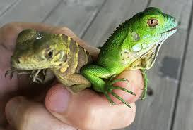 Iguana Island Possible Hybrid Threatens Native Iguanas In Cayman Islands Wtop