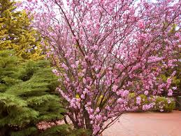 tree with pink flowers natureplus name of this tree with pink flowers looks similar to