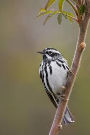 listbirds 460 best warblers u0026 vireos images on pinterest life list birds