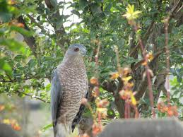 right in your own backyard cooper s hawks right in your own backyard wildfresno