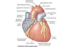 Anatomy Of Heart Valve Bio 100 Heart Anatomy