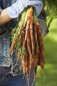 6 ways to prep your soil for better carrots hobby farms