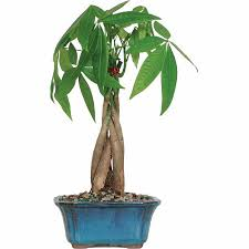 brussel s money tree bonsai small outdoor walmart