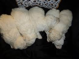 bichon frise virginia akc bichon frise puppies adorable champion sired lines in