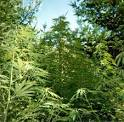 growing marijuana in pine trees