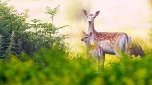 deer family hd wallpaper wallpapers13